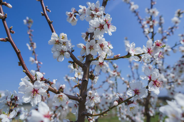 Flowering Plant Flower Fragility Plant Vulnerability  Growth Beauty In Nature Blossom Freshness Tree Nature Day Springtime Branch Low Angle View Close-up Sky Petal White Color Twig No People Cherry Blossom Flower Head Outdoors Pollen