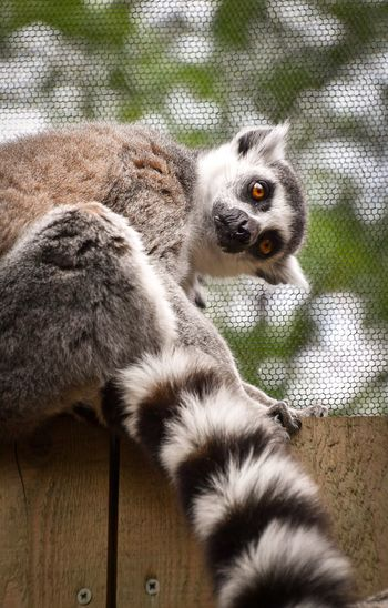 Close-Up Of Lemur