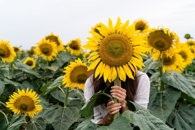 View of sunflowers on flowering plant