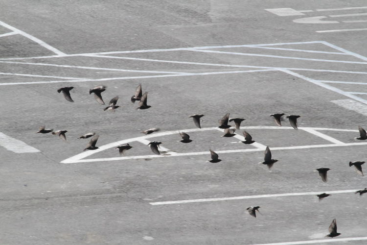 Animals In The Wild Bird Day Flock Of Birds High Angle View Large Group Of Animals Outdoors Over Parking Ground