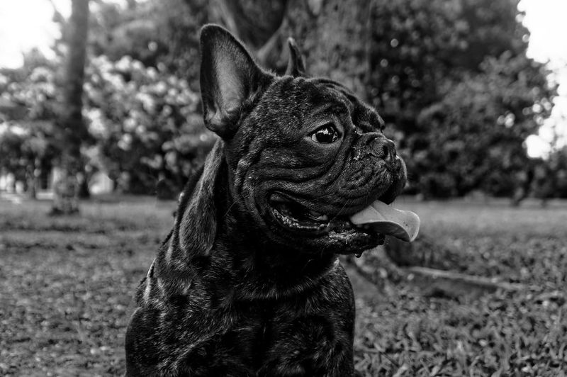 Close-Up Of French Bulldog On Field
