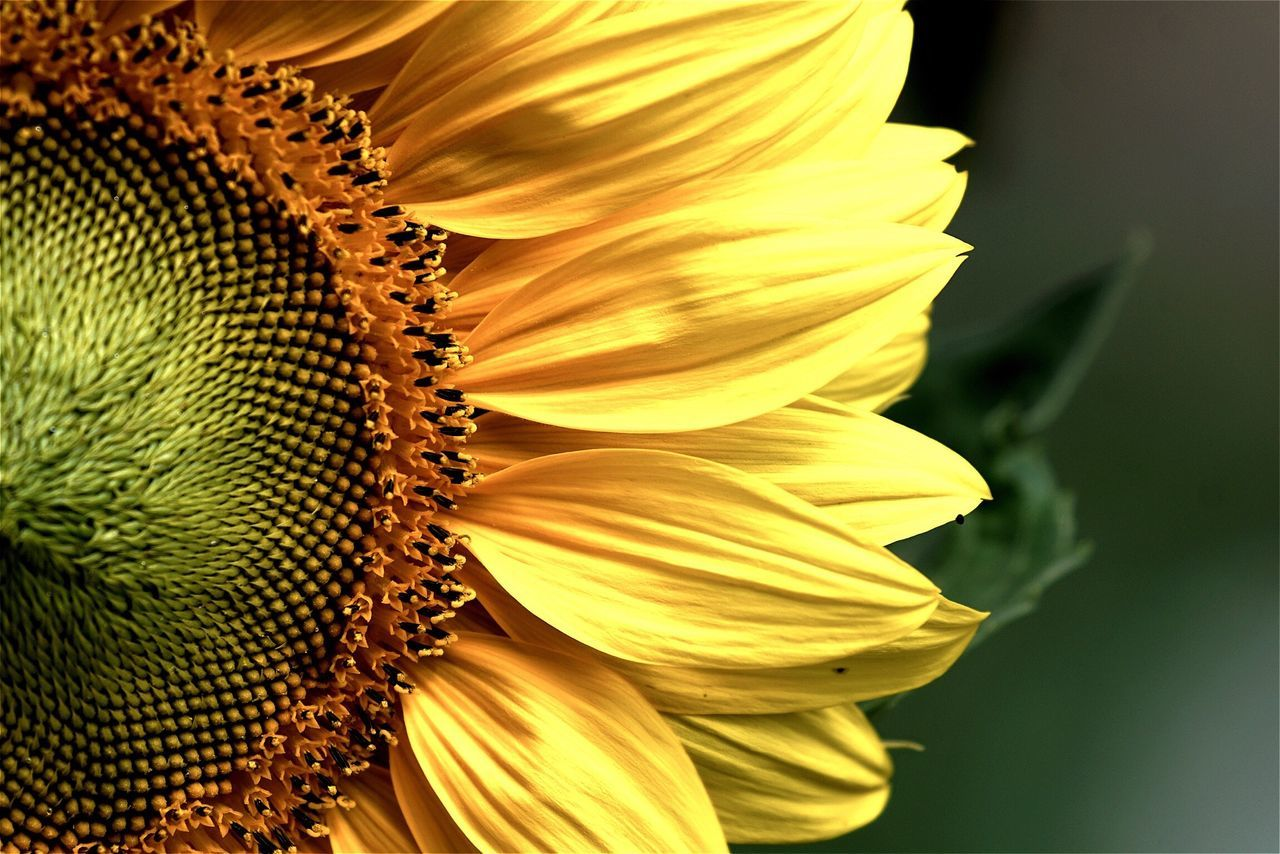 Cropped Image Of Sunflower