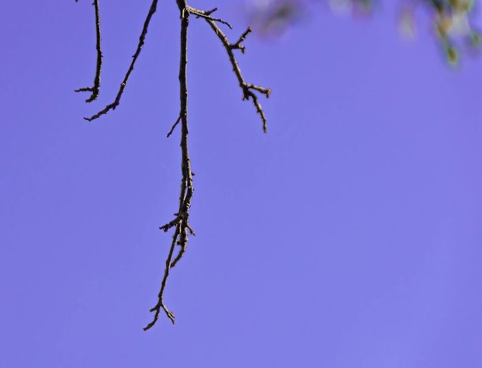 Winter vestige. Clear Sky Branch Blue Nature Low Angle View Bare Tree Outdoors Beauty In Nature Plant Day Sky Savannah 365project