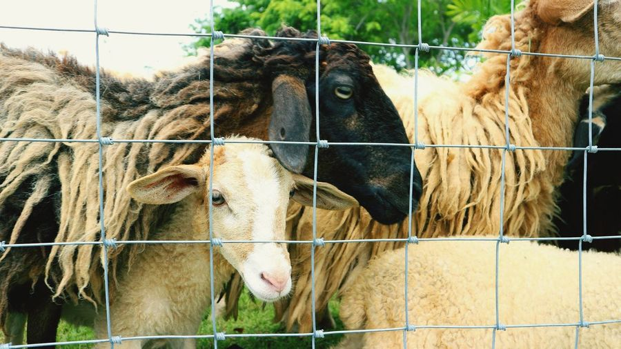 Sheep Sheep🐑 Sheep Farm Agriculture Togetherness Cage Barbed Wire Close-up Livestock Domesticated Animal Tag Domestic Cattle Highland Cattle Livestock Tag Lamb Chainlink Fence Animal Pen