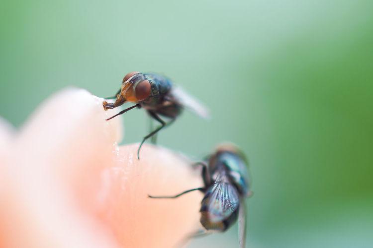 Close-up of flys on pork