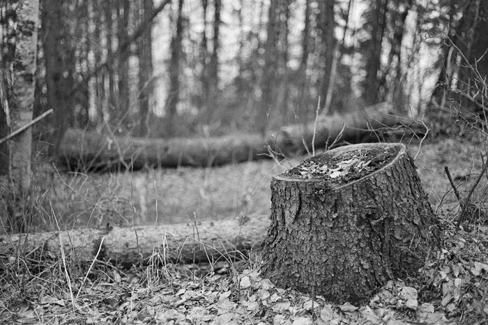 35mm Film Analogue Photography Black & White Black And White Blackandwhite Blackandwhite Photography Caffenol Canon AE-1 Close-up Day Field Film Focus On Foreground Forest Grass Nature No People Outdoors Tree Tree Stump Tree Stumps Tree Trunk Trees
