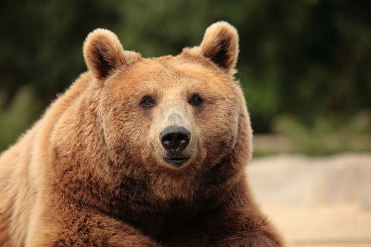 Close-up portrait of brown bear