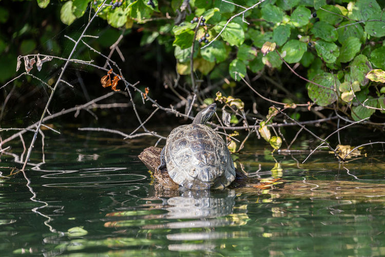 View of turtle in lake