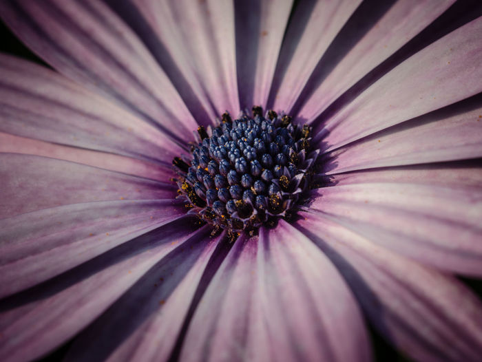 Backgrounds Beauty In Nature Close-up Flower Flower Head Flowering Plant Fragility Freshness Full Frame Growth Inflorescence Nature No People Osteospermum Petal Plant Pollen Purple Vulnerability
