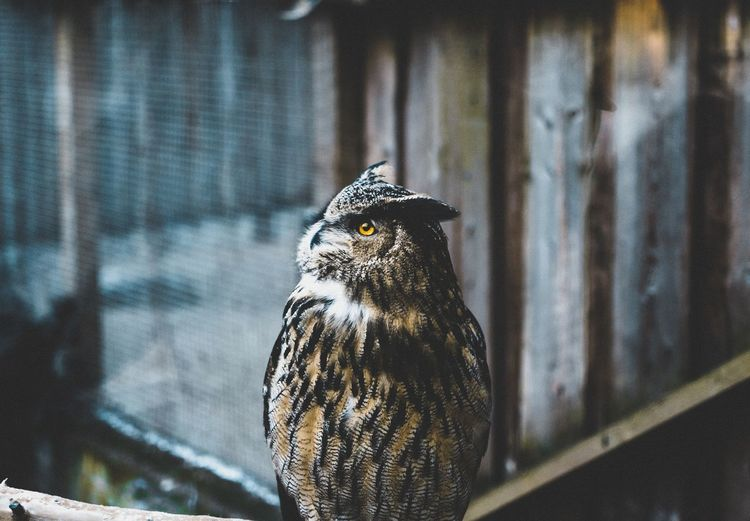 owl EyeEm Selects Bird Perching Bird Of Prey Owl Close-up Birdcage Cage Zoo Captivity Captive Animals Trapped