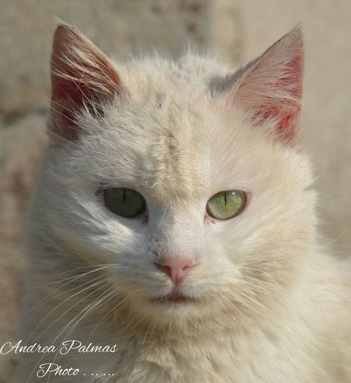 Animal Themes Close-up Day Domestic Animals Domestic Cat Feline Felino Gatto Gatto Bianco Gatto😸 Looking At Camera Mammal No People Occhi Verdi One Animal Outdoors Pets Portrait Whisker