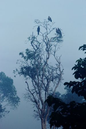 Kites in NT, Australia Australia Australian Birds Australian Landscape Australian Wildlife Beauty In Nature Bird In A Tree Birds Branch Fog Foggy Kites Low Angle View Mysterious Mysterious Atmosphere Nature No People Northern Territory Outdoors Scenics Sky Tranquility Tree