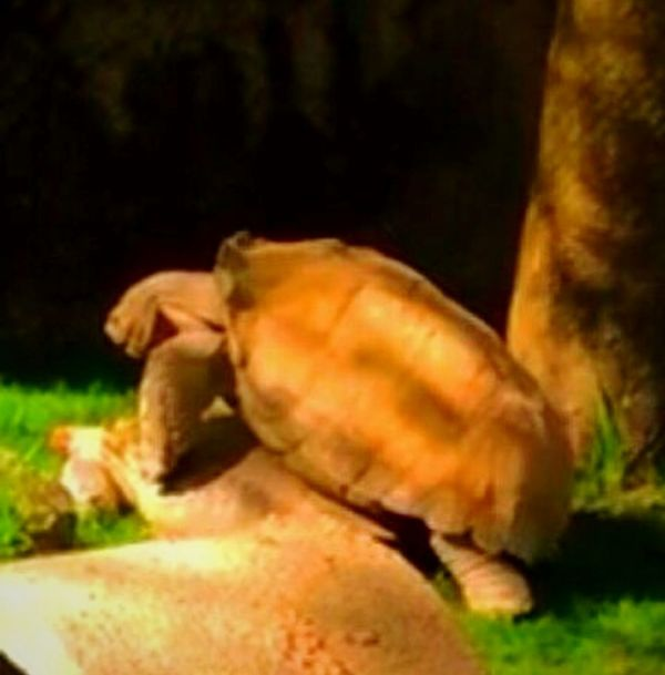 Bowchicawowwow Rated R Turtle Love Romantic❤ Like Rabbits Sexytime Oregon Zoo Adults Only Fornication Hard Shell Making Babies Animal Themes Animal Wildlife Focus On Foreground Photography Themes I LOVE PHOTOGRAPHY Snapshots Of Life Eyeem Market Original Experiences EyeEm Gallery Environment Beauty In Nature Getty Images Oregon Beauty Pacific Northwest  Live For The Story BYOPaper! The Street Photographer - 2017 EyeEm Awards The Great Outdoors - 2017 EyeEm Awards The Architect - 2017 EyeEm Awards The Photojournalist - 2017 EyeEm Awards The Portraitist - 2017 EyeEm Awards EyeEmNewHere Out Of The Box Pet Portraits