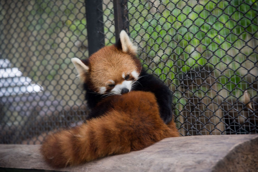 Animal Themes Animal Wildlife Animals In Captivity Animals In The Wild Chainlink Fence Close-up Day Giant Panda Mammal No People One Animal Outdoors Panda - Animal Red Panda Zoo