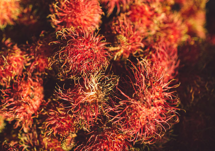 Siem Reap Cambodia Angkor Red Close-up Food And Drink Freshness No People Food Wellbeing Healthy Eating Fruit Selective Focus Full Frame Nature Day Outdoors Still Life Backgrounds High Angle View Plant Orange Color Beauty In Nature Lychee Spiky