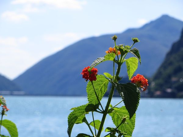 The Week On EyeEm Growth Flower Nature Freshness Beauty In Nature Leaf Plant Fragility Focus On Foreground Day Outdoors No People Flower Head Close-up Green Color Water Blooming Sky Lugano, Switzerland Lugano