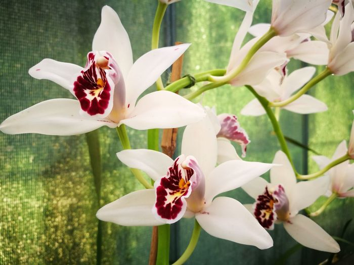 Orchidflower Orchidee Cymbidium Cymbidium Orchid Orchid Flower Flower Petal Plant Flower Head Freshness Growth Blossom Fragility Beauty In Nature Close-up Orchid No People
