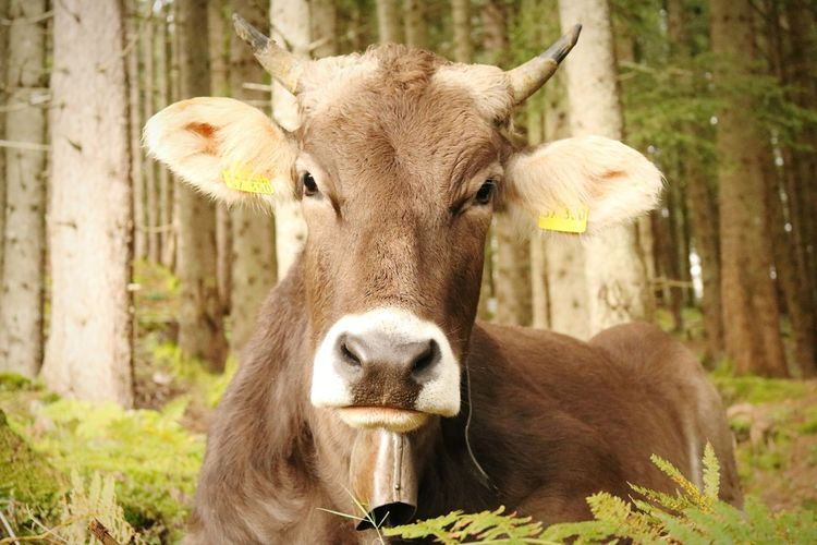 Portrait of cow eating grass