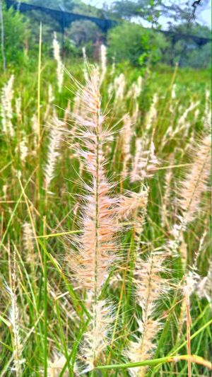 Nature Nature Photography Naturelovers Punjab Fountain Grass Cereal Plant Agriculture Field Rural Scene Close-up Grass Sky Plant Green Color Tall Grass Lush - Description Agricultural Field Plantation Wildflower Farmland Growing Stalk Reed - Grass Family Rice - Cereal Plant Terraced Field Uncultivated Straw Hay Bale Bale  Satoyama - Scenery