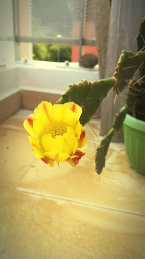 Yellow Flower Nature Plant Fragility Indoors  Flower Head Firstflower Beauty In Nature Cactus Flowers Spiked Flower