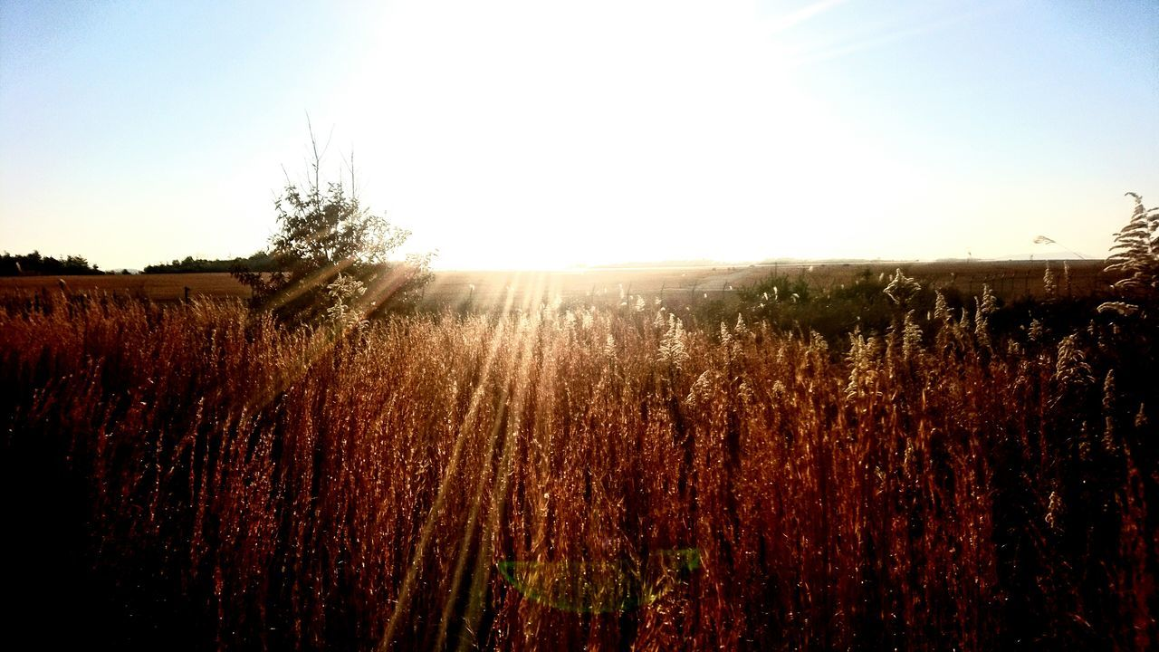 growth, field, agriculture, bright, nature, landscape, tranquility, sun, sunlight, plant, tranquil scene, rural scene, outdoors, clear sky, no people, scenics, beauty in nature, day, sky, tree