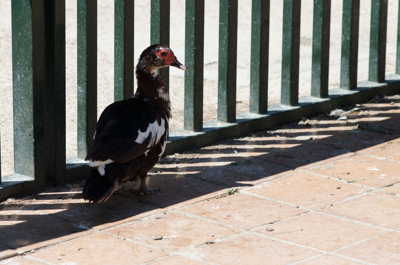 Muscovy duck by railing on footpath