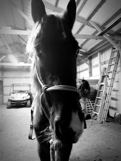 My boy Vegas Horse One Animal Stable Indoors  Animalphotography Pet Love My Pets Love Me Taking Photos Horse Photography  Horselife Beautiful Horse Horselovers Animals Taking Picture Tennesee Walking Horse Blabkandwhite Blackandwhite Photography Training HorseNAround Working Horses Horses, FarmLife Horses Of Eye Em