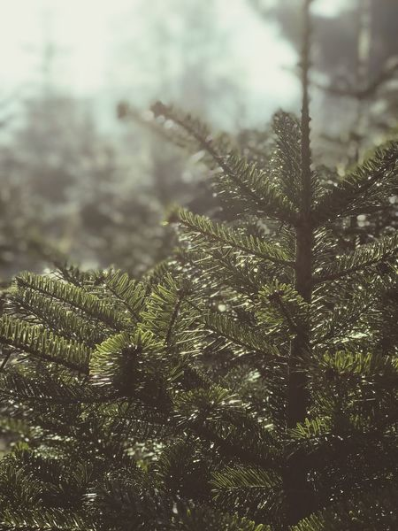 Nature Tree Growth Weather Focus On Foreground Beauty In Nature No People Coniferous Tree Close-up Forest Winter Tranquility Outdoors Day Needle - Plant Part Branch Scenics Cold Temperature Pain Tree Winter Christmas