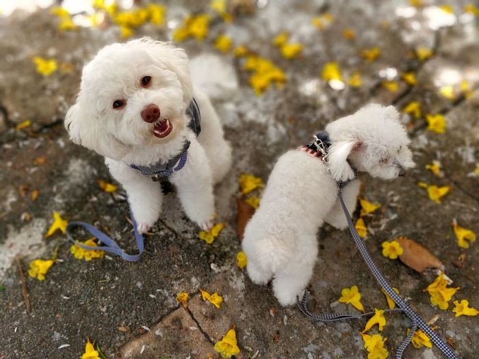 Primavera EyeEm Selects Pets Dog Autumn Portrait Looking At Camera Leaf Poodle Puppy Animal Hair Canine