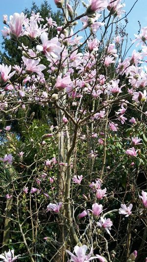 Flower Tree Branch Backgrounds Close-up Plant Magnolia Botany Plant Life Flower Head