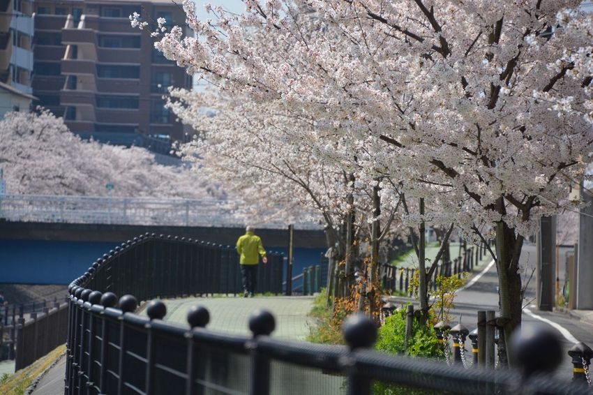 "SAKURA "" at Kotta Gawa 👉 click 👉 https://youtu.be/vaXJsZZlBl4 First Eyeem Photo Plant Tree Architecture Nature Built Structure Growth Building Exterior Blossom Railing Day Freshness Beauty In Nature Flower Fragility City Outdoors Transportation Flowering Plant Springtime Real People"