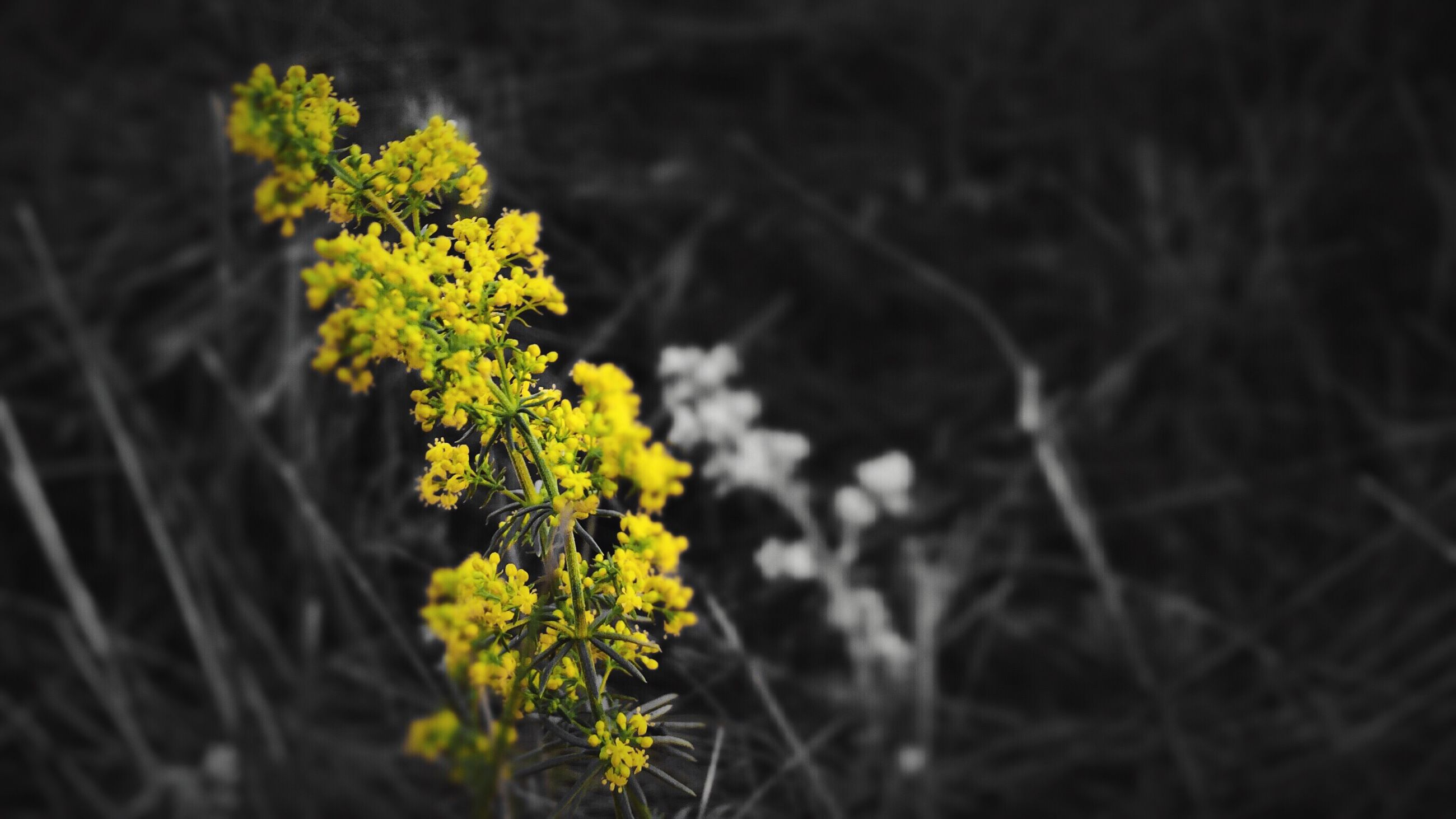 growth, flower, yellow, plant, fragility, freshness, nature, beauty in nature, focus on foreground, selective focus, close-up, field, stem, leaf, outdoors, green color, blooming, growing, no people, day