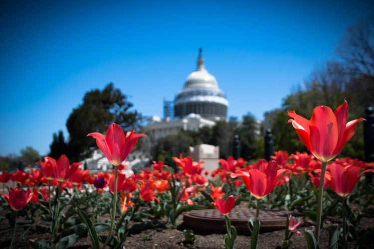 Low angle view of tulip garden with the U.S. Capital Building in the background. April Showcase Architecture Beauty In Nature Blooming Blossom Built Structure City Day Flower Flower Head Focus On Foreground Fragility Freshness Growth In Bloom Nature No People Petal Plant Red Sky Travel Destinations Tulips US Capitol Building Washington DC