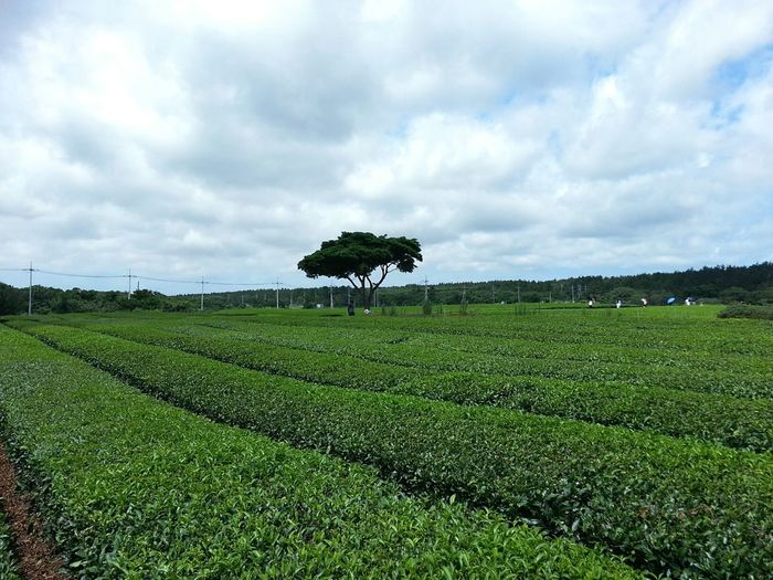Greentea Farm A Tree Sky And Clouds Blue Sky Grean Tea No People Travel Peaceful Green Color Horizon