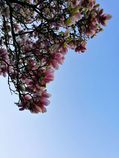 Low angle view of pink flower tree against clear sky