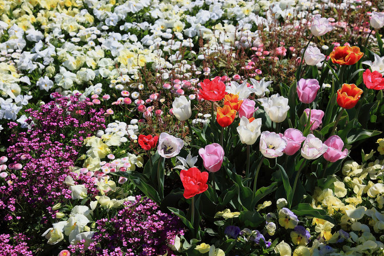 many colorful tulips in one area Tulips Beauty In Nature Colorful Flower Flower Head Flowerbed Flowering Plant Fragility Freshness Growth Inflorescence Lot Many No People Outdoors Petal Plant Spring Springtime Springtime Blossoms Tulip Tulips Flowers Tulips In The Springtime Vulnerability