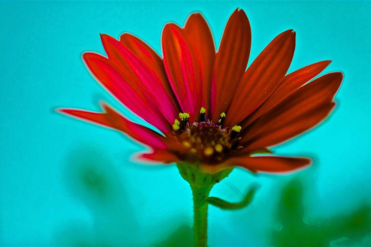fleur The Minimalist - 2019 EyeEm Awards Flower Beauty Daisy In Bloom Red Joy Symmetry Daydreaming Blossom Zinnia  Turquoise Petal Close-up Flower Head Près De Gry