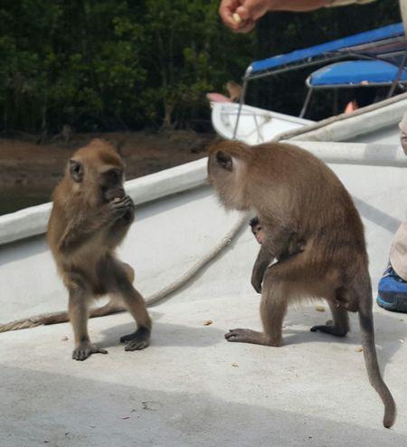 A mummy and baby monkey. Nature Monkey Wildlife Wildlife & Nature Baby Monkey Langkawi Mangrove Tour