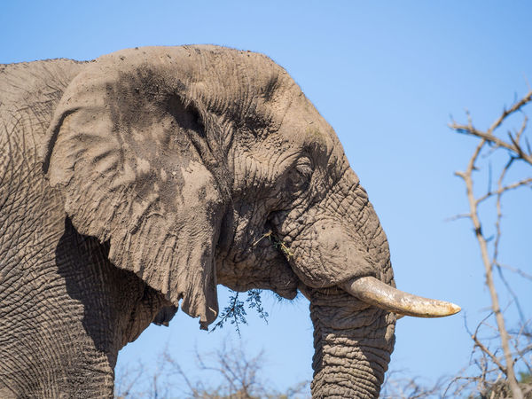 African Elephant Animal Themes Animal Trunk Animal Wildlife Animals In The Wild Beauty In Nature Clear Sky Close-up Day Elephant Low Angle View Mammal Nature No People One Animal Outdoors Safari Animals Sky Sunlight Tree Tusk