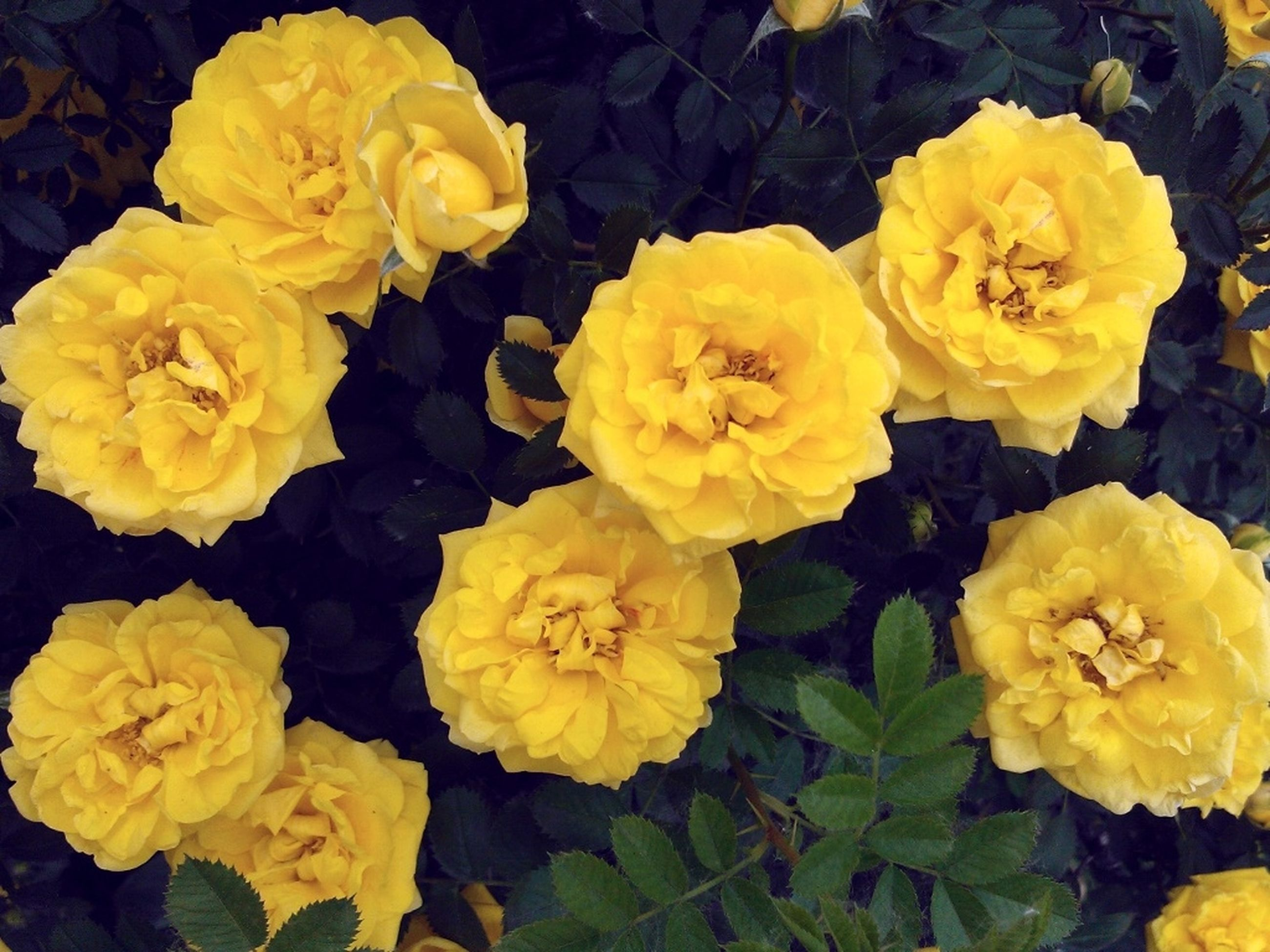 flower, yellow, petal, freshness, fragility, flower head, beauty in nature, growth, blooming, nature, high angle view, plant, close-up, rose - flower, in bloom, full frame, vibrant color, bunch of flowers, blossom, springtime