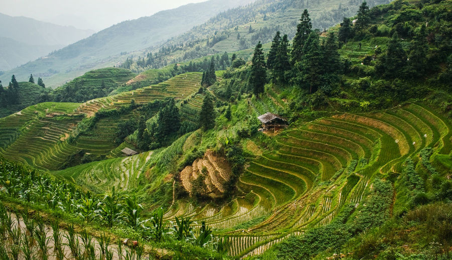 Beautiful landscape view of rice terraces and house. Longsheng Rice Terraces. China Longsheng Rice Rice Paddy Terraces Terraced Field Landscape Longji Rice Terrace Field China ASIA Asian  Nature Agriculture Green Farm Travel Backbone Ground Yuanyang Yuanyang Terraced Fields Mountain Valley Paddy Field Beautiful Harvest