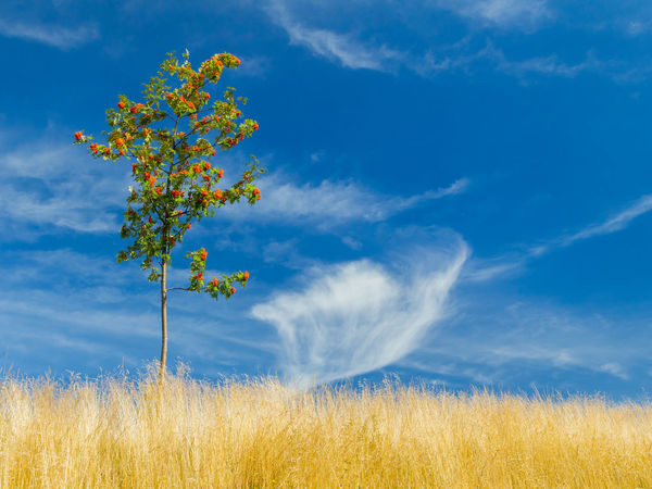 Small rowan among dry hay with blue sky and wispy clouds in the background. Beauty In Nature Berries Blue Cirrus Clouds Cloud - Sky Day Field Fluffy Freshness Grass Growth Hay Landscape Lonely Tree Nature No People Outdoors Plant Rowan Tree Scenics Sky Small Tree Summer Tranquility Tree