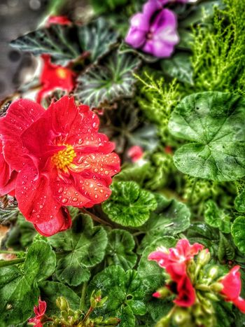Saturday Morning Raindrops Raining Again!!! Like Always Flowers Red Green Flowerbasket London HDR