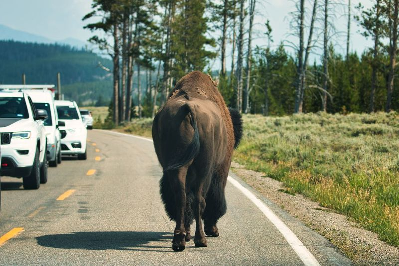 Bison on road in yellowstone national park, montana