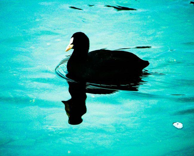 Colours Duck Black Eyefornature Warter Reflections Seascape Seaside Wartet EyeEm Best Edits Edit