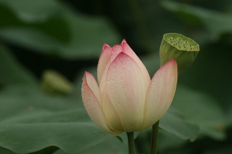 Close-up of lotus lily