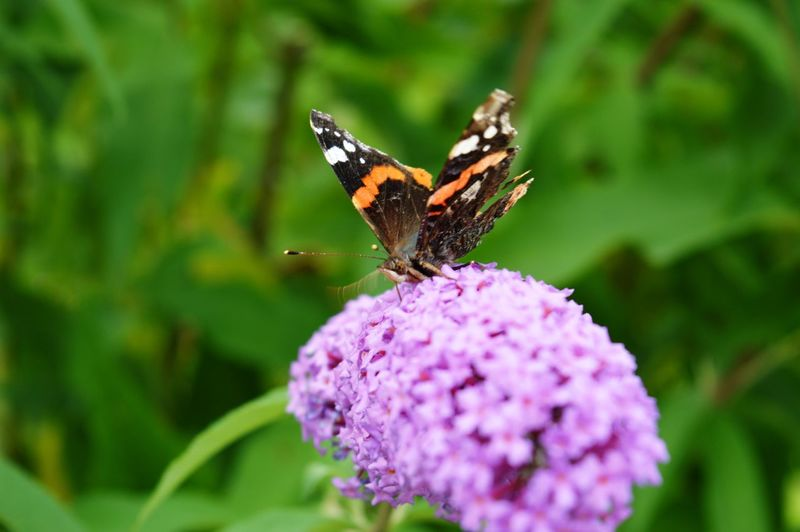 Purple Pollination Plant Outdoors One Animal No People Nature Lantana Camara Insect Growth Green Color Freshness Fragility Focus On Foreground Flower Head Flower Day Close-up Butterfly - Insect Beauty In Nature Animals In The Wild Animal Wildlife Animal Themes