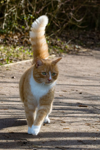 Animal Themes Cat Puff Tail Cat Tail Close-up Day Domestic Animals Domestic Cat Feline Looking At Camera Mammal No People One Animal Outdoors Pets Portrait Puff Tail