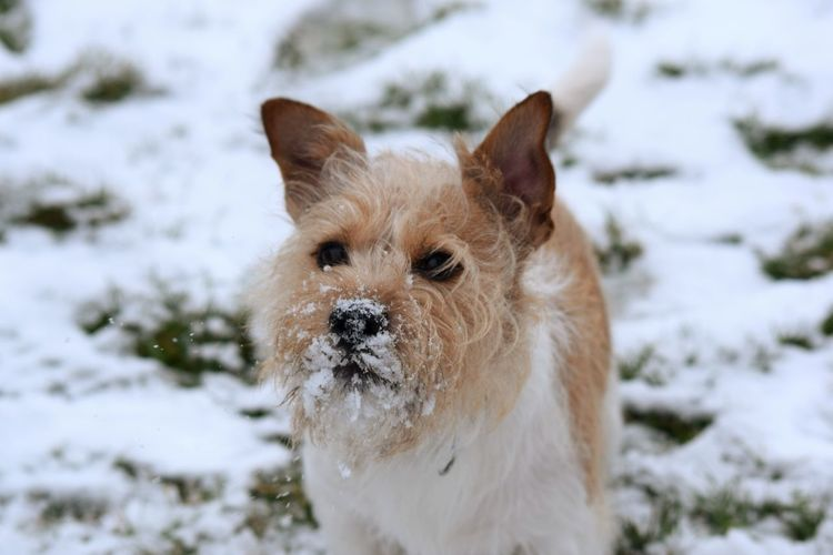 snow fresh Dogs Of EyeEm Dogs Of Winter Winter Love Pets Snow Portrait Cold Temperature Ear Winter Dog Happiness Looking At Camera Beauty Terrier Purebred Dog Jack Russell Terrier