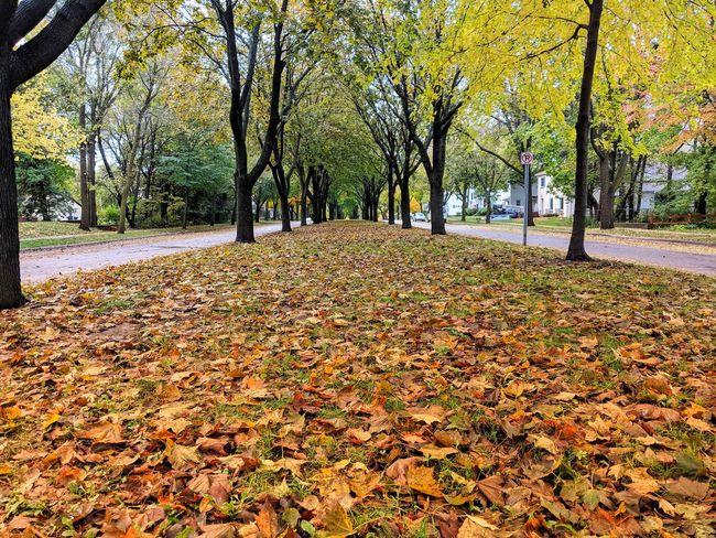 Tree Leaf Autumn Yellow Change Dry Sky Landscape Close-up Fall Fallen Fallen Leaf Leaves Tree Trunk Treelined Woods Maple Park Pathway Maple Leaf